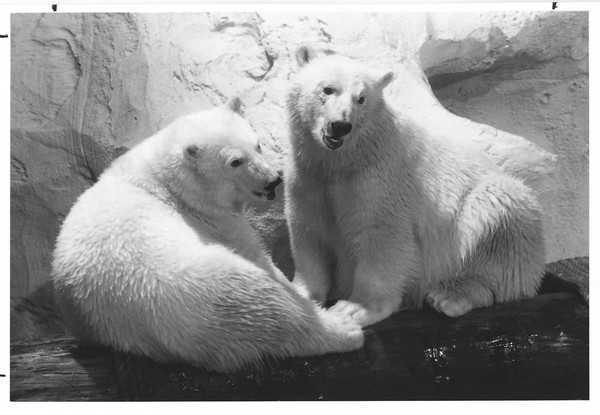 Klondike, beloved polar bear at SeaWorld Orlando, passes away