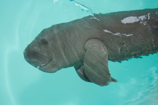 Orphaned manatee calf being cared for by SeaWorld Orlando