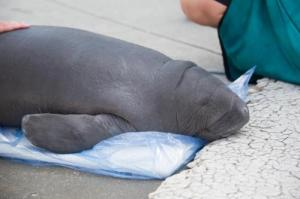 20131016_baby_manatee_delivery_and_update_05-500x333