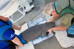 20131016_baby_manatee_delivery_and_update_09-500x333
