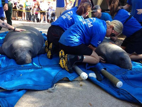 Manatees Returned to Blue Springs National Park